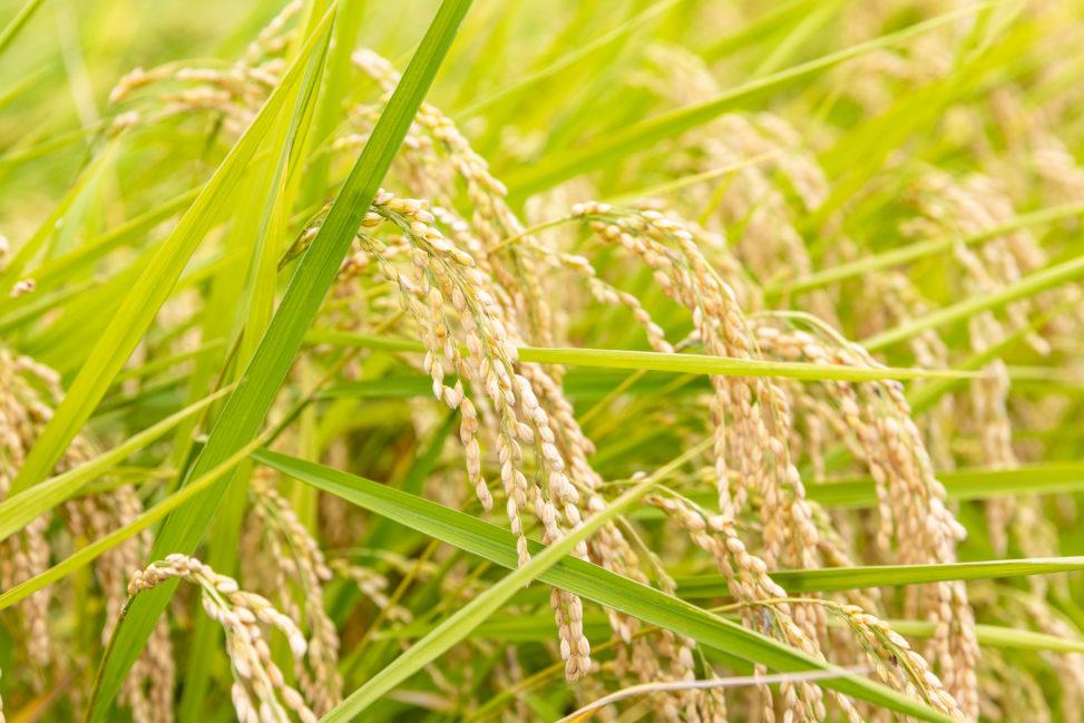 実った稲の写真