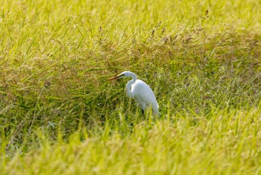 田んぼと白鷺(ダイサギ)の写真