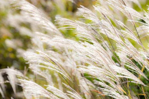 風に揺れるススキ/芒の写真