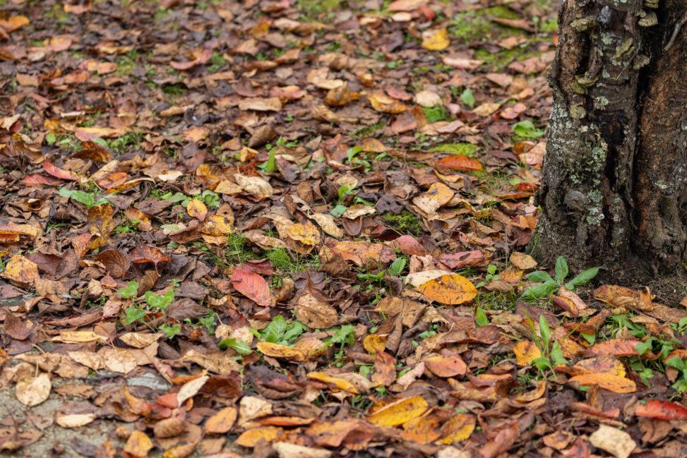 一面の落ち葉(紅葉)の写真