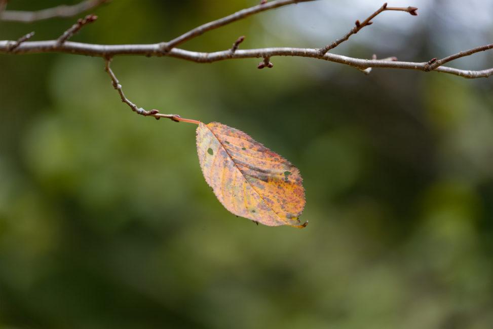 一枚の紅葉した枯葉の写真