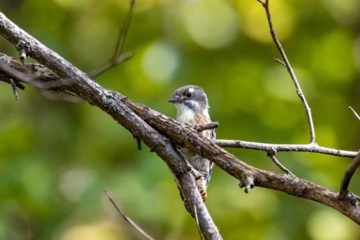 緑の中のコゲラの幼鳥の写真