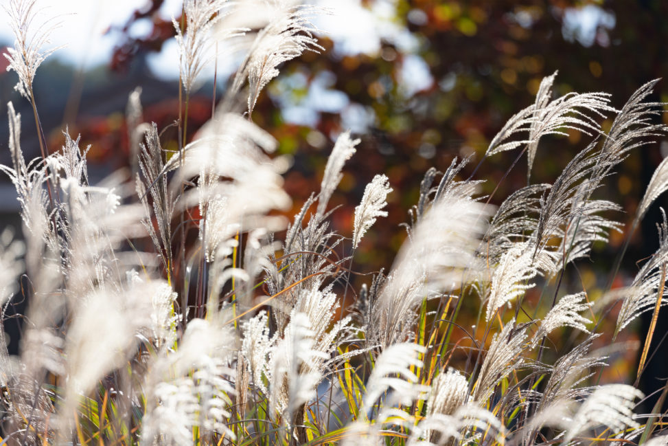 西日に照らされた秋のススキ/芒の写真