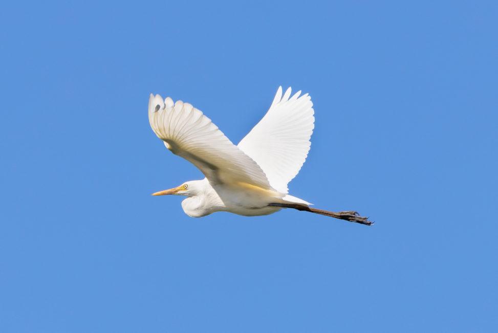 空を飛ぶダイサギ(シラサギ)の写真