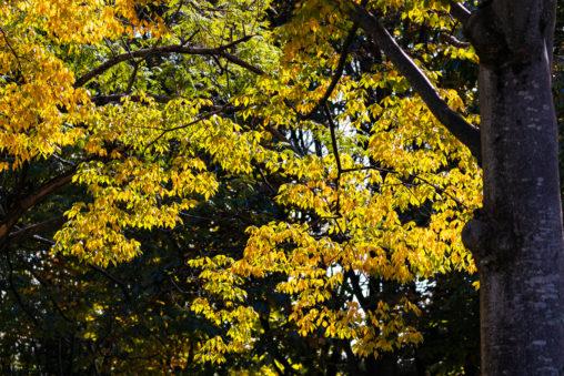 黄色く色づいた木々の葉の写真