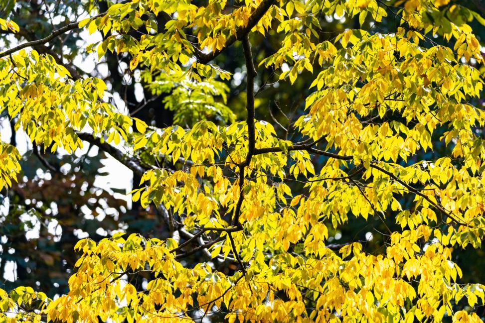 黄色く色づいた木々の葉02の写真