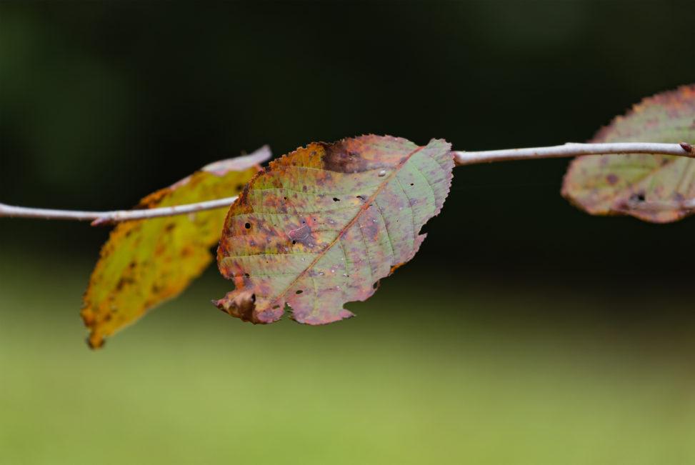 紅葉した枯葉の写真