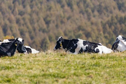 寝ている牧場の牛