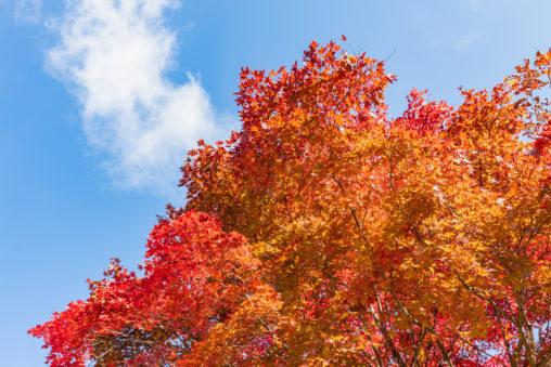 快晴の空と紅葉したモミジの写真