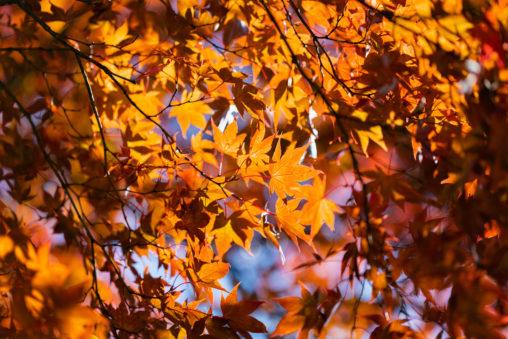 一面のもみじの葉/紅葉の写真
