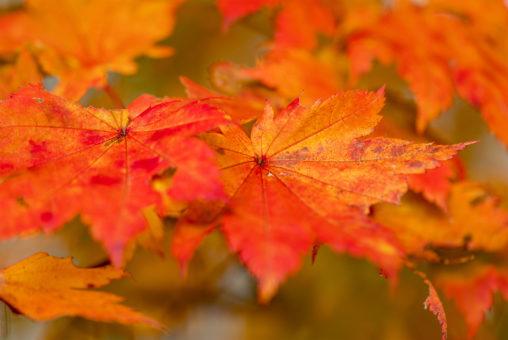 オレンジ色のハウチワカエデ(楓)の写真