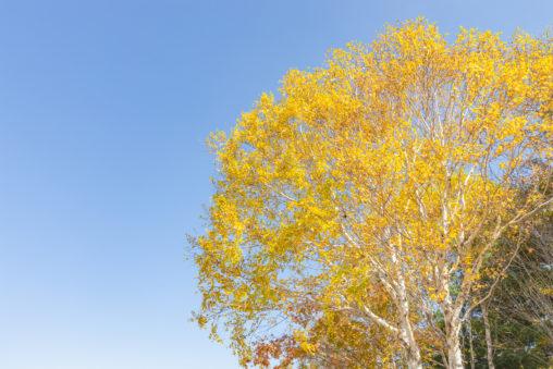 黄色く色づいた白樺と青空の写真