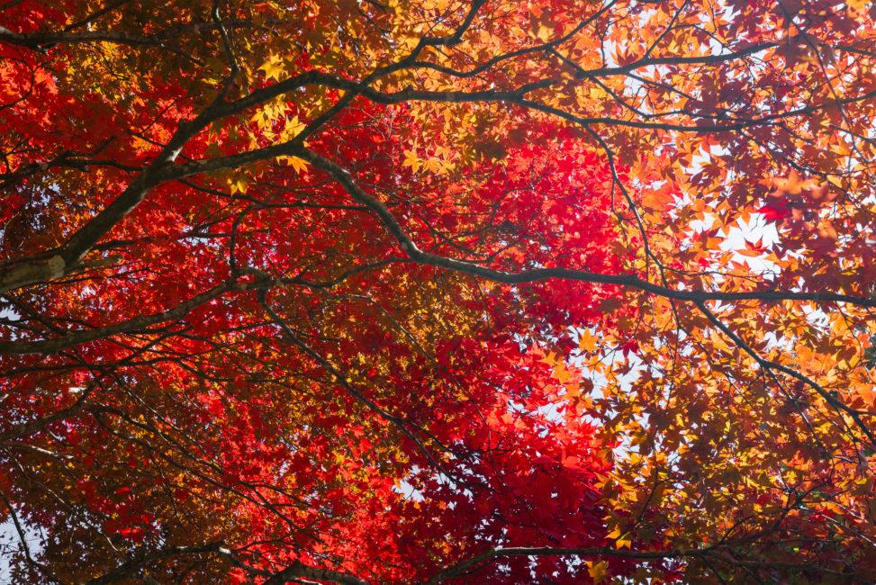 一面の真っ赤なモミジ/紅葉の写真