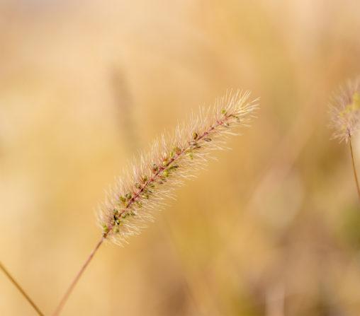 秋のエノコログサ(猫じゃらし)の写真