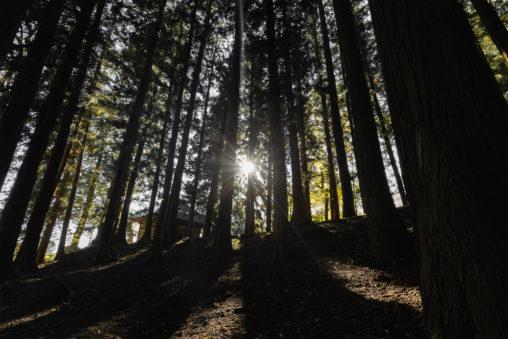 杉の木林と日差しの写真