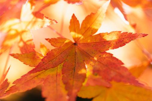鮮やかなモミジの葉/紅葉の写真