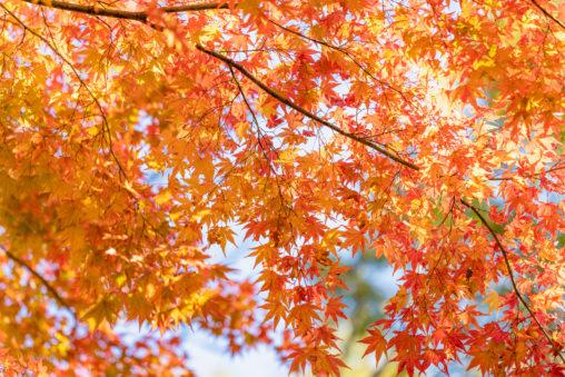 光が差し込んだ一面のモミジ/紅葉の写真