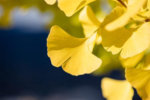 イチョウ/銀杏の葉の写真