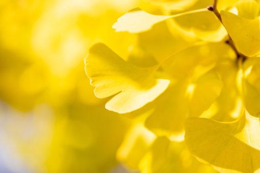 イチョウ/銀杏の葉_2の写真