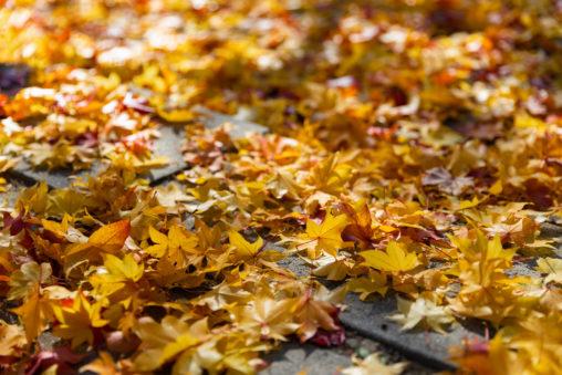 楓や紅葉/落ち葉の写真