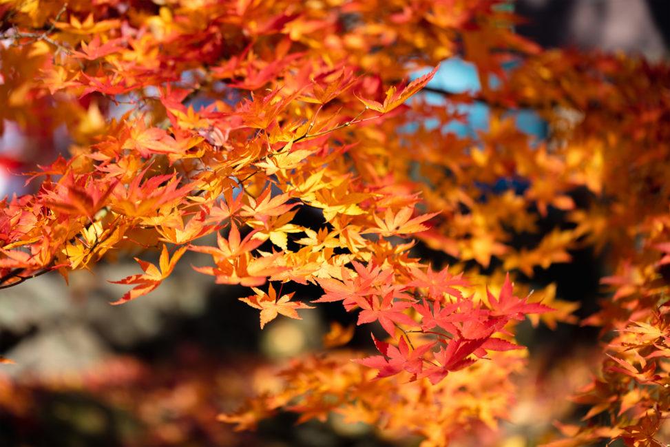 鮮やかなモミジ/紅葉の写真