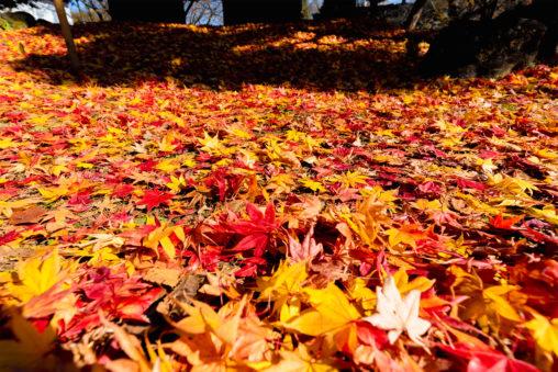 敷き詰められた楓や紅葉の写真