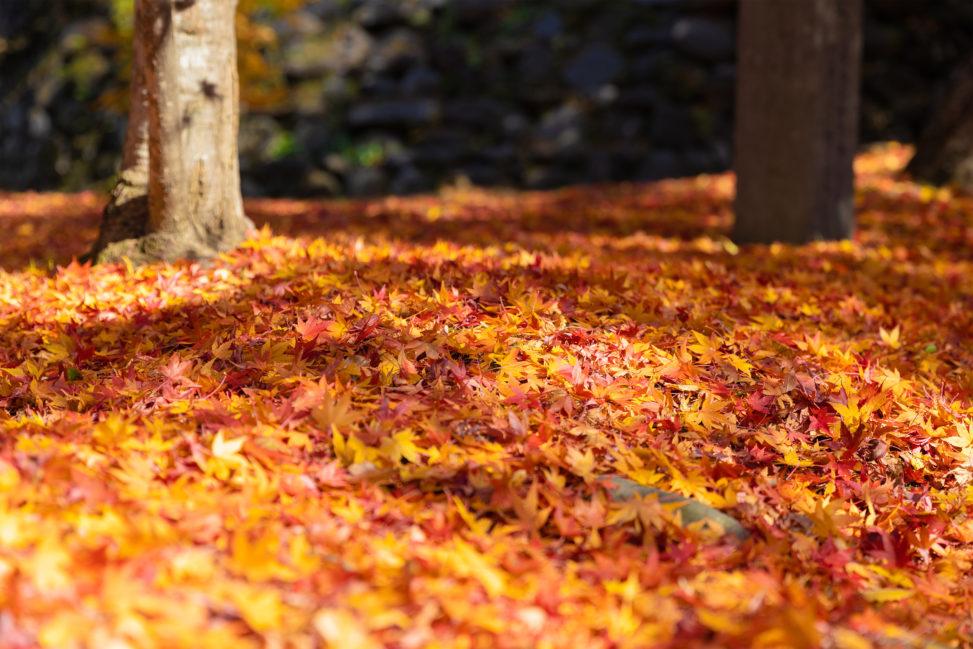 敷き詰められた楓や紅葉_2の写真