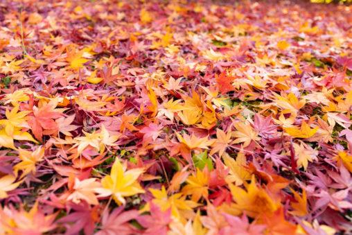 楓や紅葉の絨毯の写真