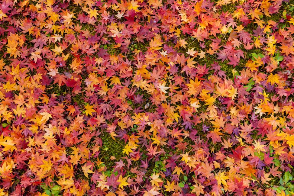 楓や紅葉の壁紙/テクスチャーの写真