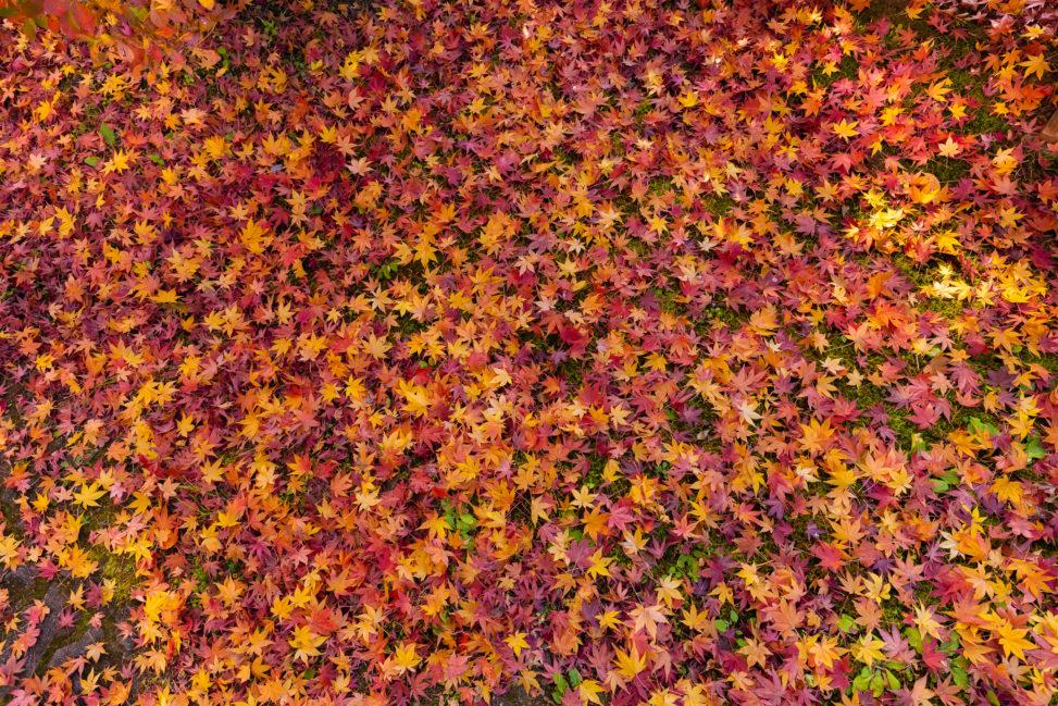 楓や紅葉の壁紙/テクスチャー_2の写真