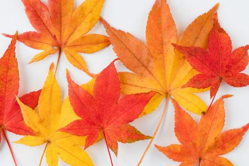 紅葉/楓/モミジ/白背景の写真