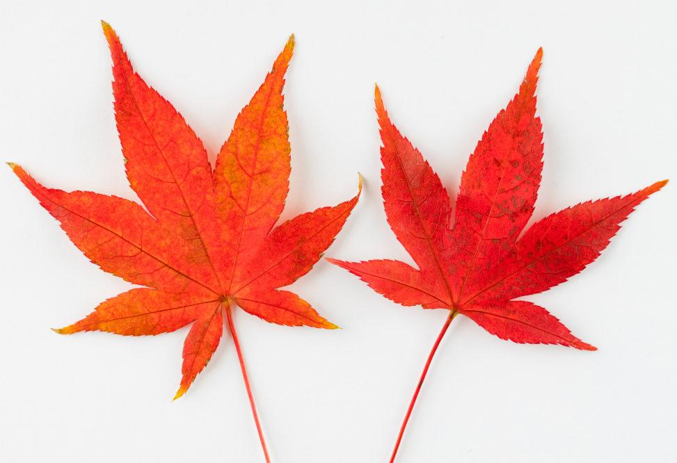 真っ赤なモミジ/紅葉/楓/白背景の写真