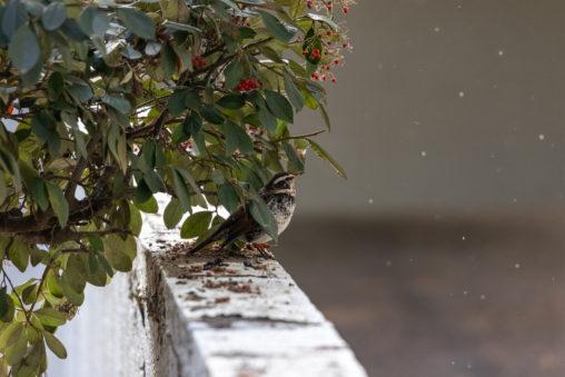 舞う雪とツグミの写真