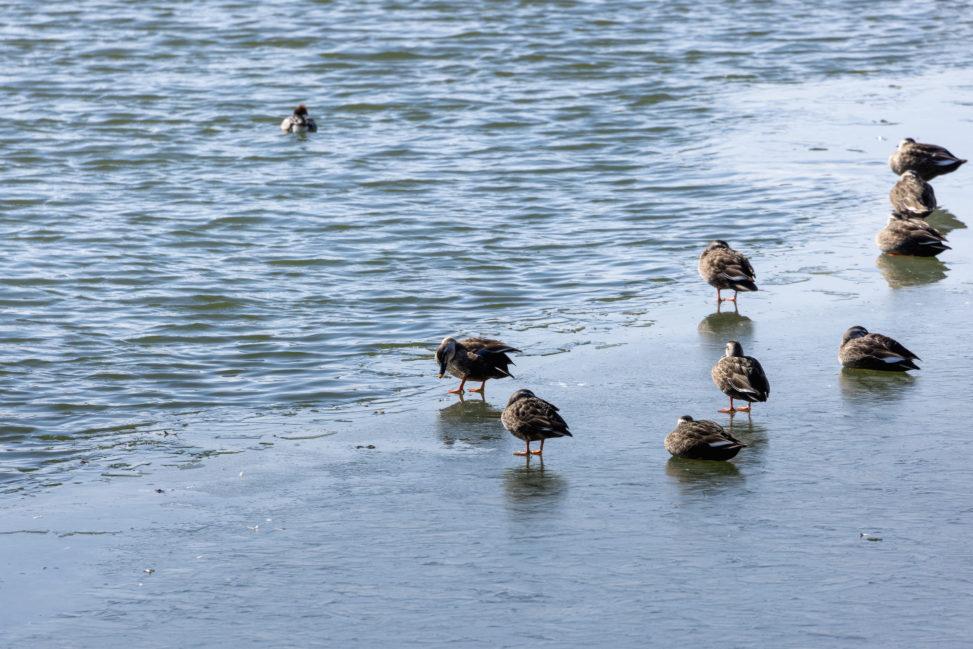 凍った湖にいるカルガモ(鴨)たちの写真