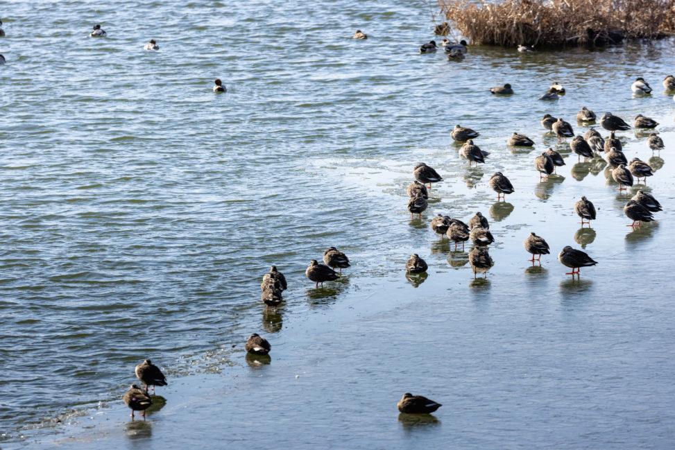 凍った湖にいるカルガモ(鴨)たち_2の写真
