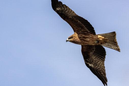 翼を広げて飛ぶトンビ(鳶)の写真