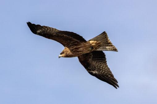 翼を広げて飛ぶトンビ(鳶)_2の写真
