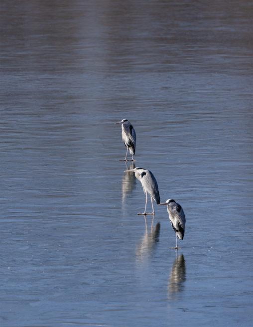 凍った湖にいるアオサギたち_2の写真