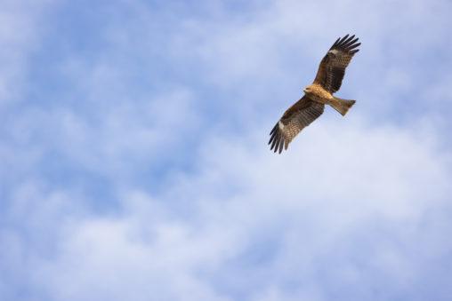 大空を飛ぶトンビ(鳶)の写真