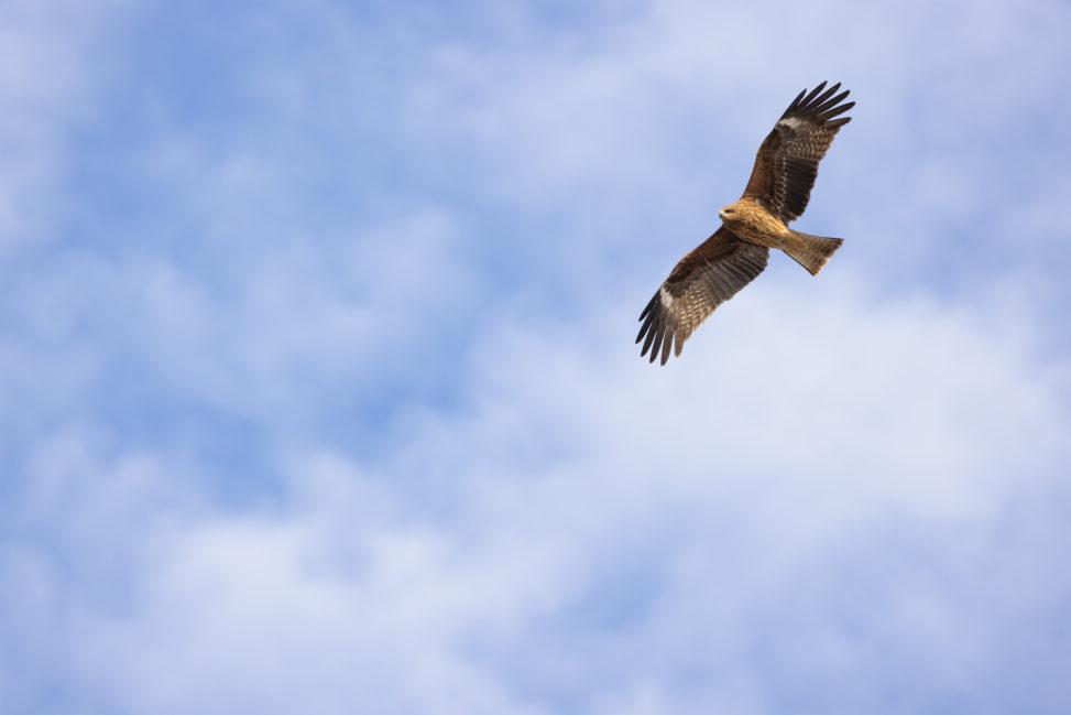 大空を飛ぶトビ/トンビ/鳶の写真