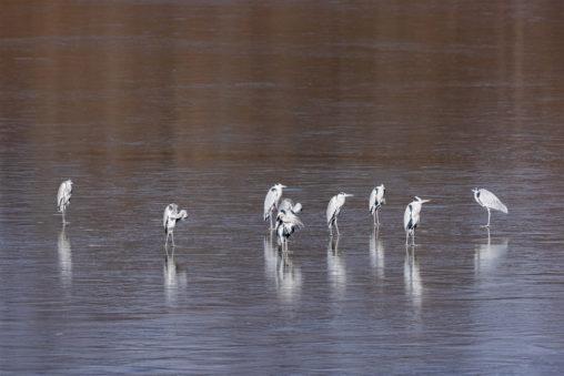 凍った湖にいるアオサギたち_3の写真