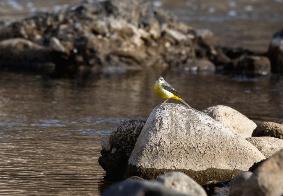 川辺の石にとまるキセキレイの写真