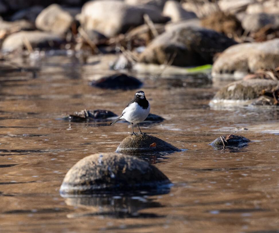 川辺にいるセグロセキレイ_2の写真
