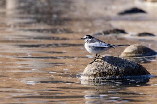 川辺にいるハクセキレイの写真
