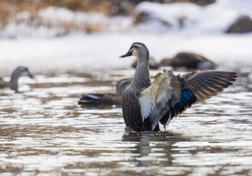 冬の池で羽ばたくカルガモ_2の写真