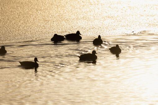 西日と湖のカル(鴨)たちの写真
