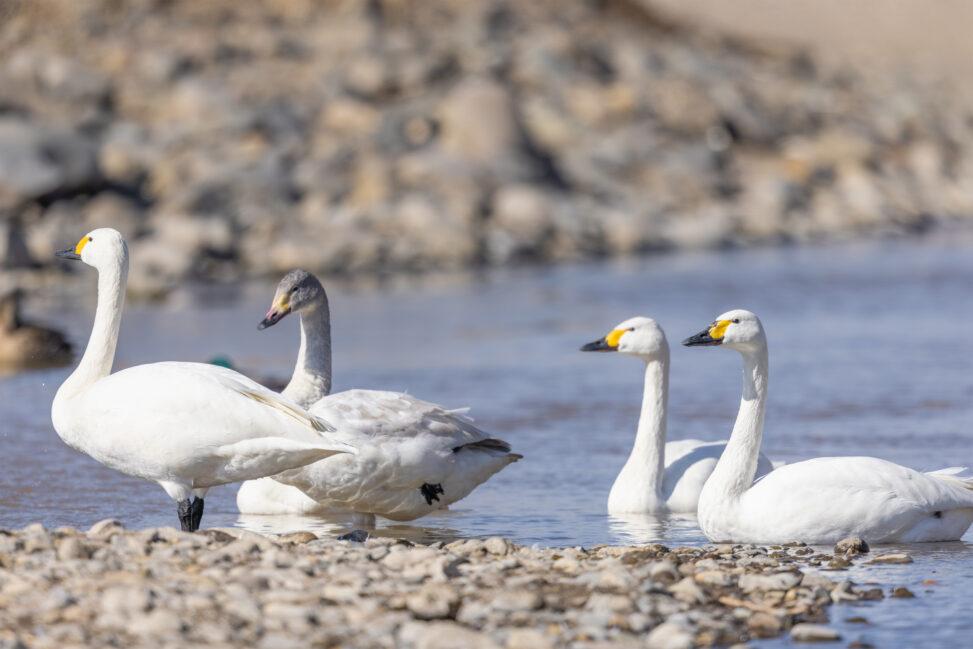 コハクチョウ/白鳥と幼鳥の写真