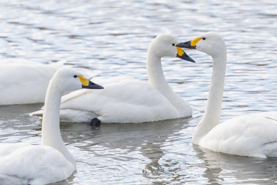 コハクチョウ/白鳥の群れの写真