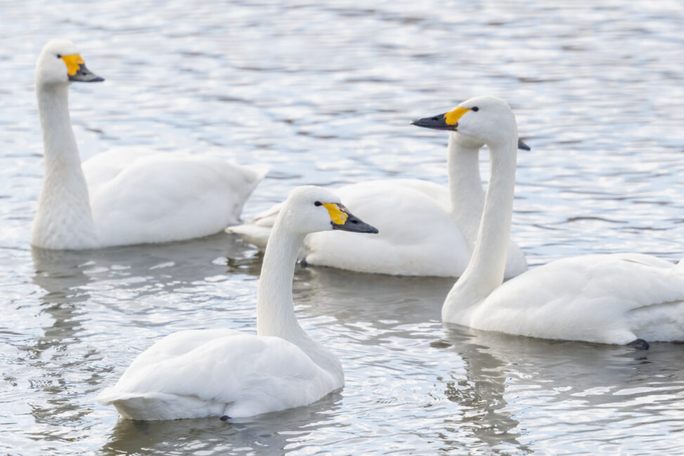 コハクチョウ/白鳥の群れ_2の写真