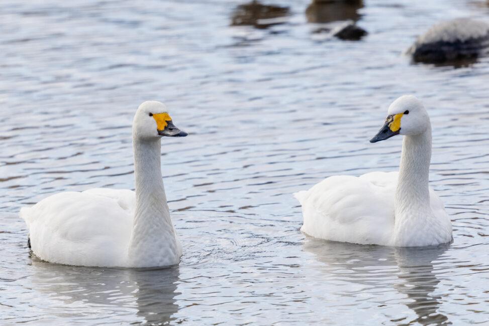 二羽のコハクチョウ/白鳥の写真